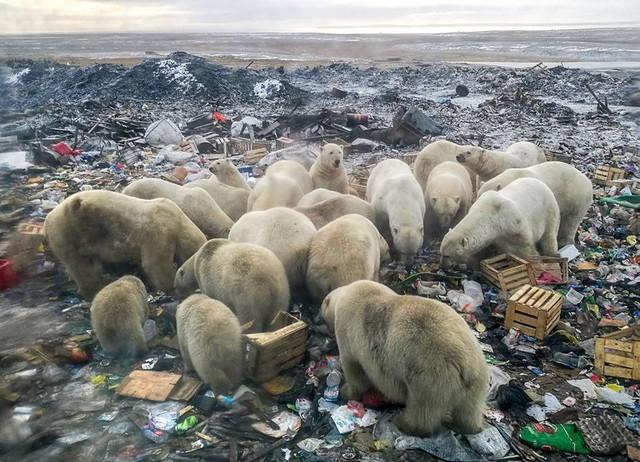 Đàn gấu Bắc cực tụ tập bới rác kiếm ăn - lời cảnh tỉnh đáng sợ tới con người về ô nhiễm môi trường - Ảnh 2.