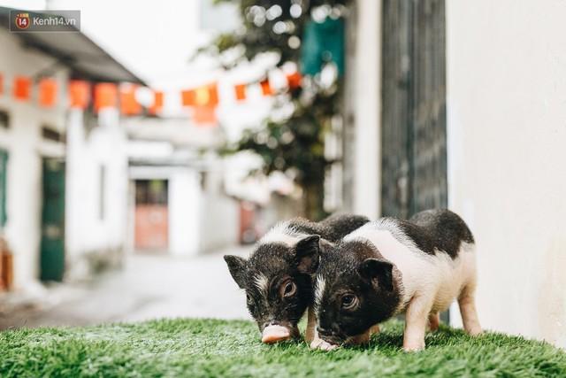 Giữa sức nóng dịch tả, giới trẻ Hà thành vẫn săn lùng lợn cảnh mini giá vài triệu làm thú cưng - Ảnh 1.