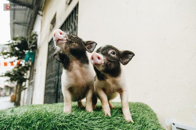 Giữa sức nóng dịch tả, giới trẻ Hà thành vẫn săn lùng lợn cảnh mini giá vài triệu làm thú cưng - Ảnh 2.