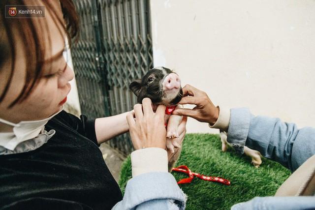 Giữa sức nóng dịch tả, giới trẻ Hà thành vẫn săn lùng lợn cảnh mini giá vài triệu làm thú cưng - Ảnh 13.
