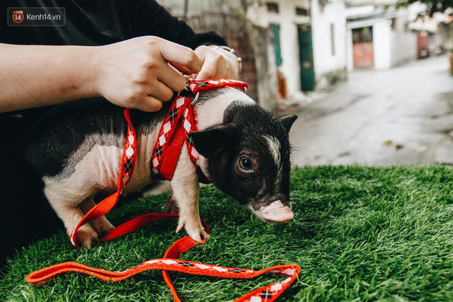 Giữa sức nóng dịch tả, giới trẻ Hà thành vẫn săn lùng lợn cảnh mini giá vài triệu làm thú cưng - Ảnh 14.