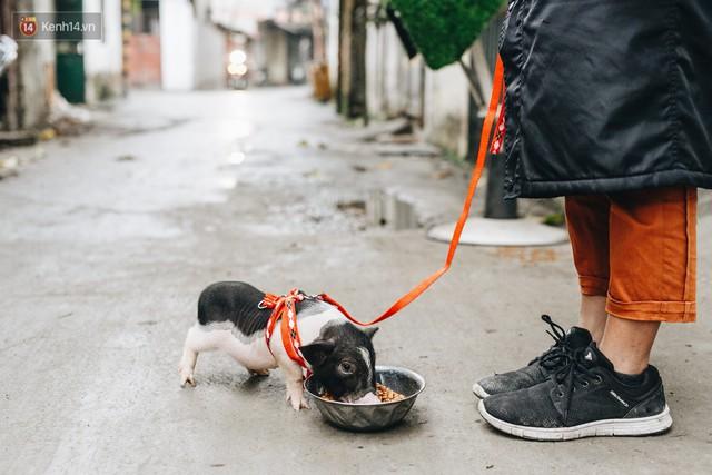 Giữa sức nóng dịch tả, giới trẻ Hà thành vẫn săn lùng lợn cảnh mini giá vài triệu làm thú cưng - Ảnh 15.