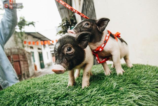 Giữa sức nóng dịch tả, giới trẻ Hà thành vẫn săn lùng lợn cảnh mini giá vài triệu làm thú cưng - Ảnh 16.