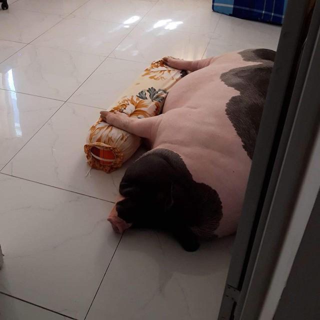 Giữa sức nóng dịch tả, giới trẻ Hà thành vẫn săn lùng lợn cảnh mini giá vài triệu làm thú cưng - Ảnh 18.