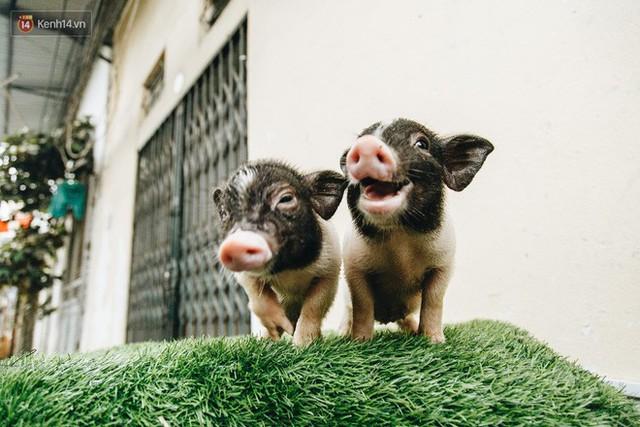 Giữa sức nóng dịch tả, giới trẻ Hà thành vẫn săn lùng lợn cảnh mini giá vài triệu làm thú cưng - Ảnh 3.