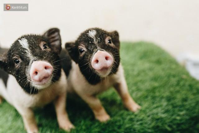 Giữa sức nóng dịch tả, giới trẻ Hà thành vẫn săn lùng lợn cảnh mini giá vài triệu làm thú cưng - Ảnh 4.