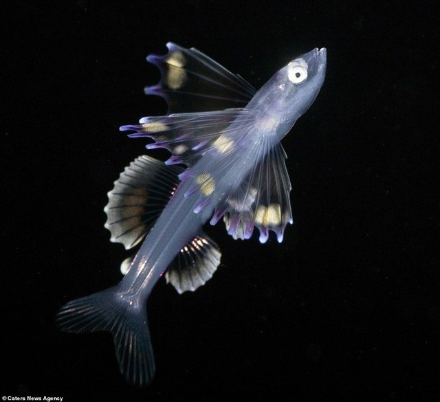 Những sinh vật biển phát sáng tuyệt đẹp của đáy Thái Bình Dương sẽ khiến bạn mê mẩn - Ảnh 15.