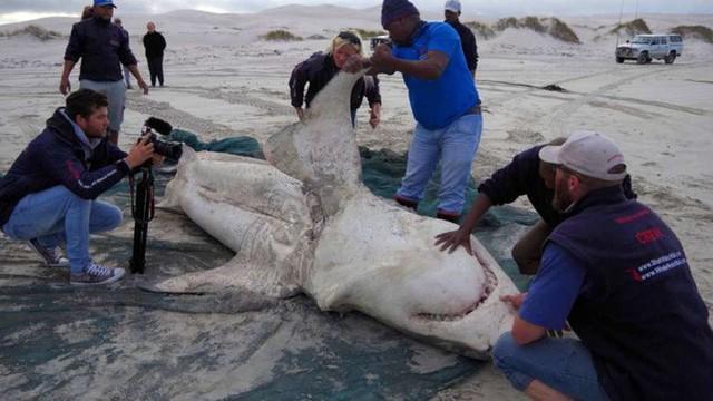 Tưởng đứng đầu chuỗi thức ăn nhưng cá mập trắng phải sợ hãi đến mức bỏ chạy trước loài vật này - Ảnh 2.