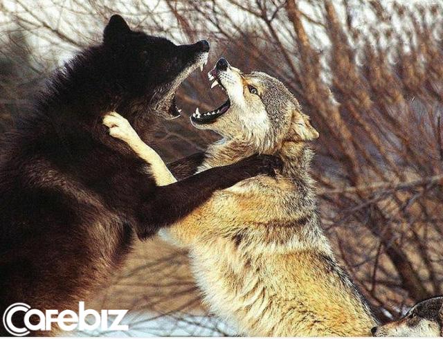 Bản lĩnh đàn ông phải như sói đầu đàn: Mạnh mẽ, quyết liệt khi đối đầu nhưng rộng lượng, ấm áp khi đối xử với gia đình - Ảnh 2.