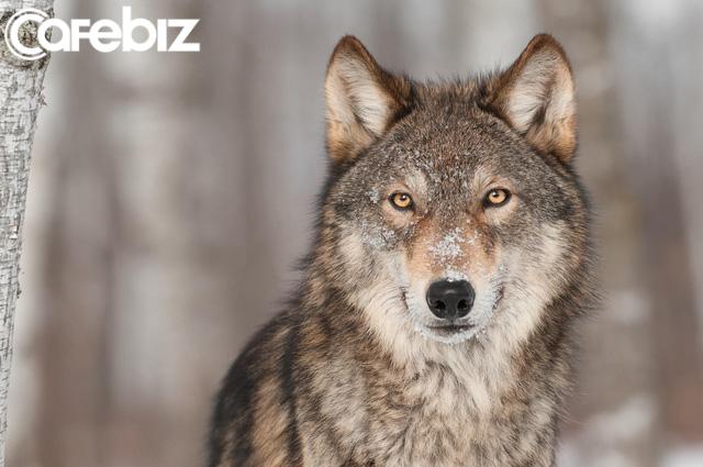 Bản lĩnh đàn ông phải như sói đầu đàn: Mạnh mẽ, quyết liệt khi đối đầu nhưng rộng lượng, ấm áp khi đối xử với gia đình - Ảnh 1.