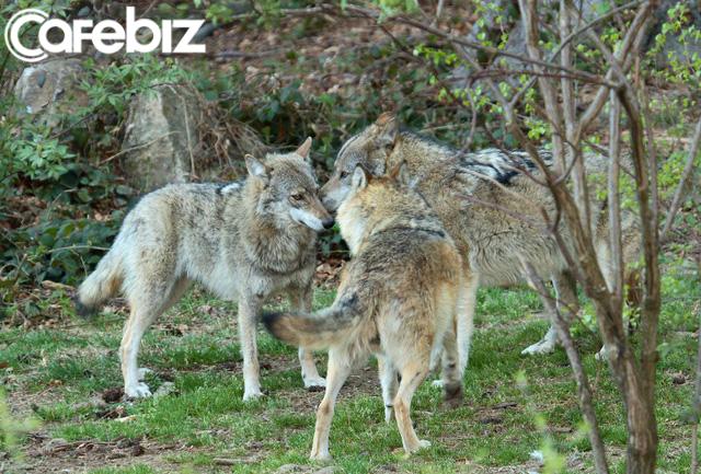 Bản lĩnh đàn ông phải như sói đầu đàn: Mạnh mẽ, quyết liệt khi đối đầu nhưng rộng lượng, ấm áp khi đối xử với gia đình - Ảnh 3.