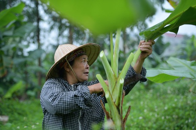 Nghề độc ở Hà Nội: Bán lá chuối rừng, kiếm hàng chục triệu đồng mỗi tháng - Ảnh 1.