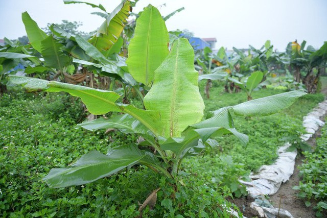 Nghề độc ở Hà Nội: Bán lá chuối rừng, kiếm hàng chục triệu đồng mỗi tháng - Ảnh 3.