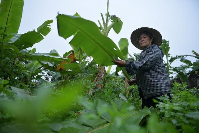 Nghề độc ở Hà Nội: Bán lá chuối rừng, kiếm hàng chục triệu đồng mỗi tháng - Ảnh 4.
