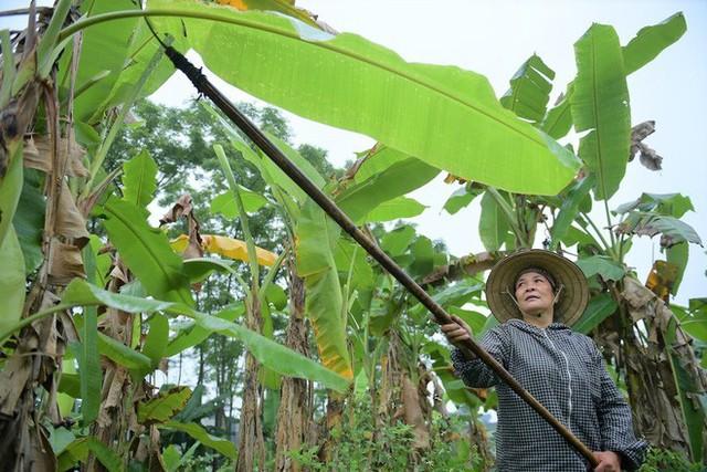 Nghề độc ở Hà Nội: Bán lá chuối rừng, kiếm hàng chục triệu đồng mỗi tháng - Ảnh 5.