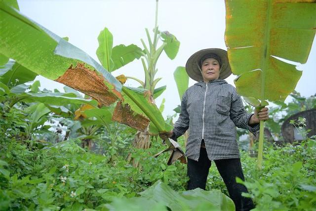 Nghề độc ở Hà Nội: Bán lá chuối rừng, kiếm hàng chục triệu đồng mỗi tháng - Ảnh 6.