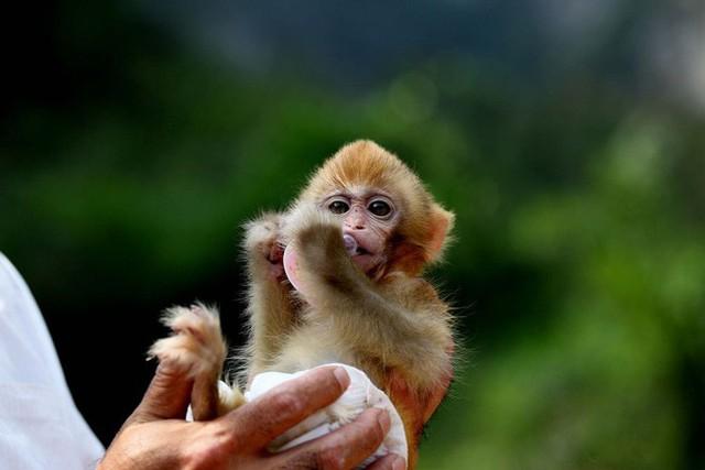 Các nhà khoa học Trung Quốc đang tạo ra những con khỉ có bộ não ngày càng giống người - Ảnh 1.