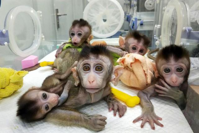 Các nhà khoa học Trung Quốc đang tạo ra những con khỉ có bộ não ngày càng giống người - Ảnh 2.
