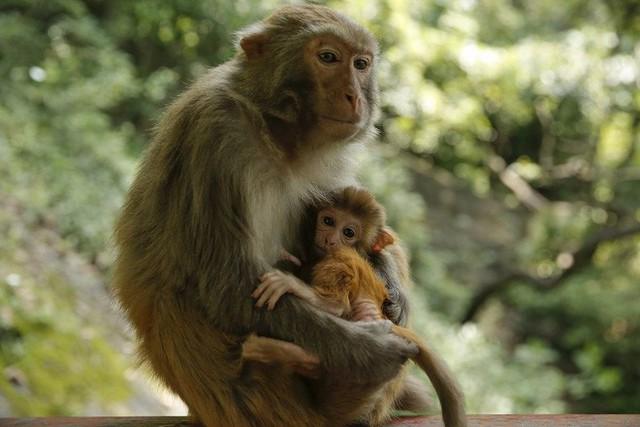 Các nhà khoa học Trung Quốc đang tạo ra những con khỉ có bộ não ngày càng giống người - Ảnh 3.