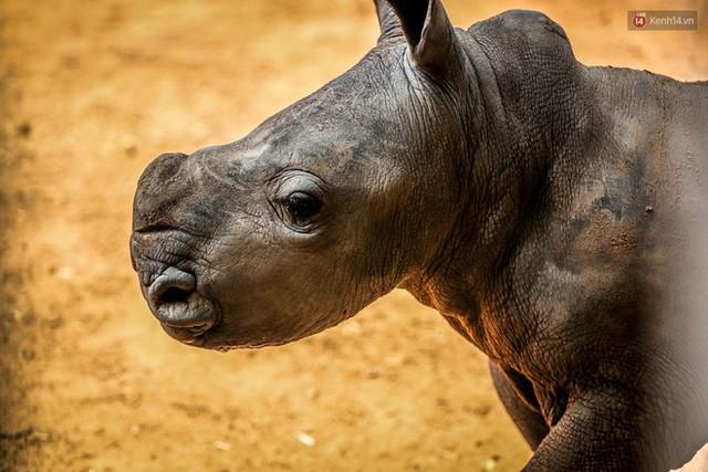 Cận cảnh 2 bé tê giác trắng quý hiếm vừa được sinh ra ở Việt Nam trong thập kỷ qua - Ảnh 4.