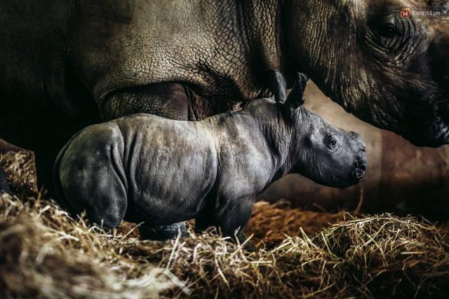Cận cảnh 2 bé tê giác trắng quý hiếm vừa được sinh ra ở Việt Nam trong thập kỷ qua - Ảnh 1.