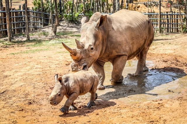 Cận cảnh 2 bé tê giác trắng quý hiếm vừa được sinh ra ở Việt Nam trong thập kỷ qua - Ảnh 3.
