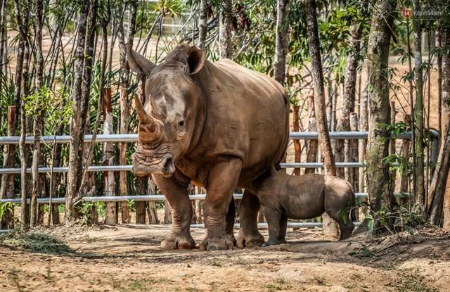 Cận cảnh 2 bé tê giác trắng quý hiếm vừa được sinh ra ở Việt Nam trong thập kỷ qua - Ảnh 6.
