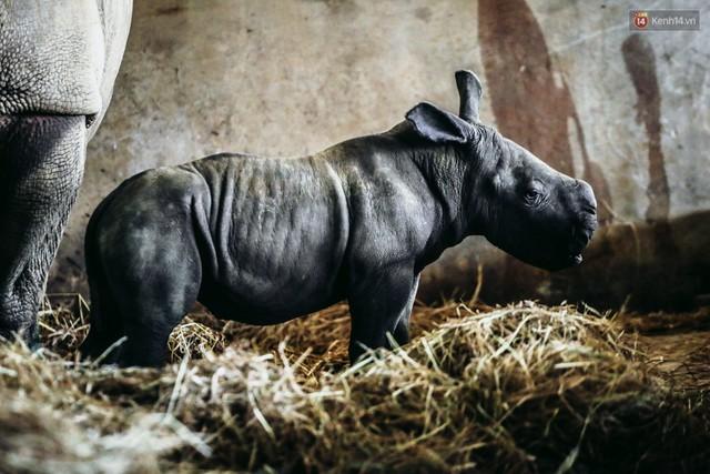 Cận cảnh 2 bé tê giác trắng quý hiếm vừa được sinh ra ở Việt Nam trong thập kỷ qua - Ảnh 11.