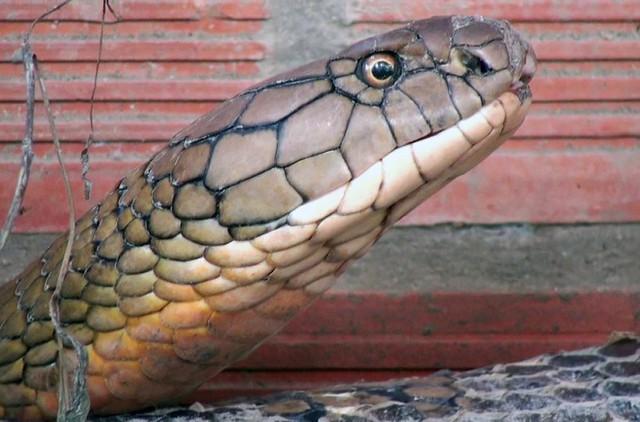 Cận cảnh cặp rắn hổ mây khủng nặng 60kg, dài 7m đầu to bằng nửa cục gạch vừa bắt được ở chân núi Cấm - Ảnh 2.