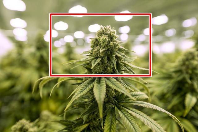 Nhận biết các loại ma túy và tác hại của chúng - Ảnh 2.