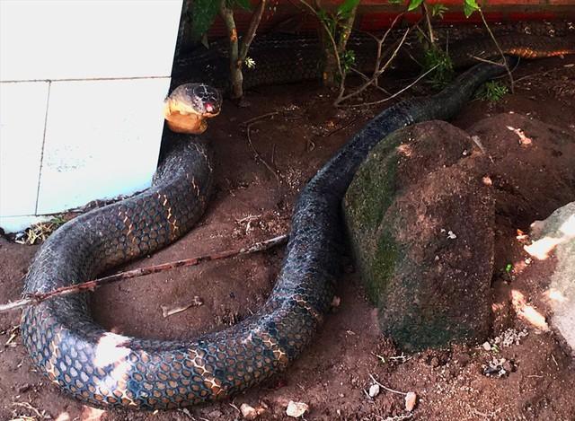 """Đổ xô đi xem rắn hổ mang chúa khổng lồ"""", du khách vỡ mộng - Ảnh 2."""