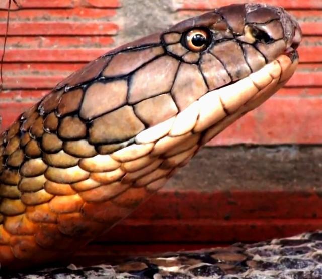 """Đổ xô đi xem rắn hổ mang chúa khổng lồ"""", du khách vỡ mộng - Ảnh 3."""
