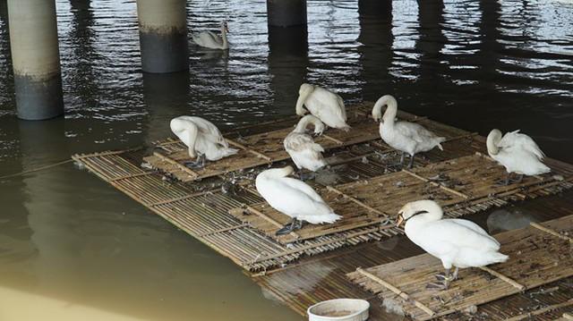Hải Phòng: Thiên nga trắng dưới sông Tam Bạc vùng vẫy rồi gục giữa bãi rác khiến nhiều người xót xa và phẫn nộ - Ảnh 2.