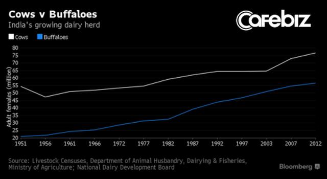 Đại chiến thần bò tại Ấn Độ: Khi nước tiểu bò đắt giá hơn cả sữa - Ảnh 3.