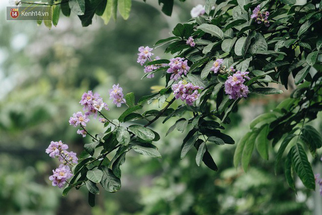 Chùm ảnh: Hà Nội và bản tình ca của những loài hoa mùa hạ thay nhau khoe sắc trên phố - Ảnh 14.