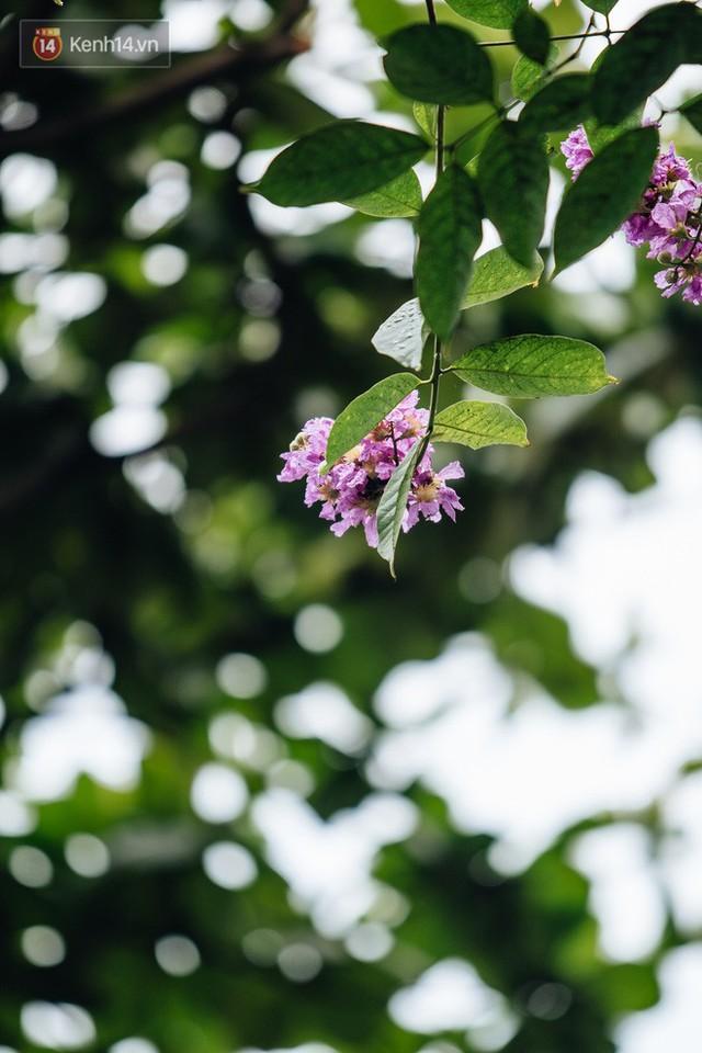 Chùm ảnh: Hà Nội và bản tình ca của những loài hoa mùa hạ thay nhau khoe sắc trên phố - Ảnh 9.