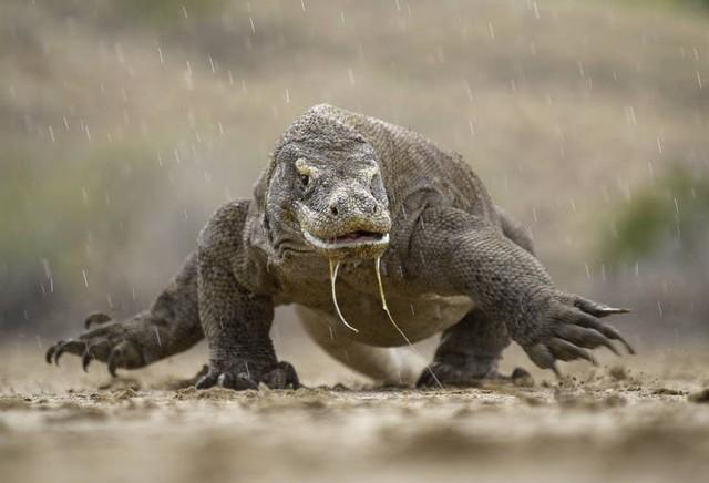Có một loài rồng thực sự tồn tại trên Trái đất nhưng đã mất tích mà khoa học không hề hay biết - Ảnh 1.