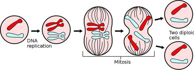 Đột phá: Các nhà khoa học lần đầu xây dựng thành công mô hình nguyên phân của tế bào gốc - Ảnh 2.