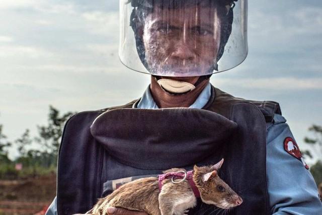 Chuyện lạ: Những con chuột to như chó con được người Campuchia dùng để dò mìn - Ảnh 2.