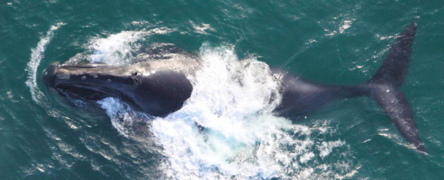 Lần đầu tiên trong lịch sử, chúng ta thu được tiếng hát của loài cá voi đen hiếm bậc nhất thế giới - Ảnh 1.