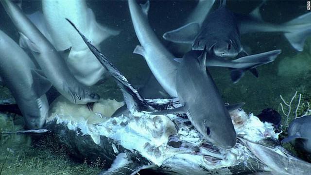 Cuộc sống nghiệt ngã dưới đáy biển: Cá mập chuẩn bị ăn xác cá kiếm thì bị con thủy quái từ đâu tới nuốt chửng - Ảnh 2.