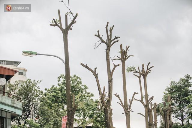 """Cận cảnh cuộc di cư của gần trăm cây hoa sữa từ hồ Tây ra bãi rác Nam Sơn để """"khử mùi"""" - Ảnh 10."""