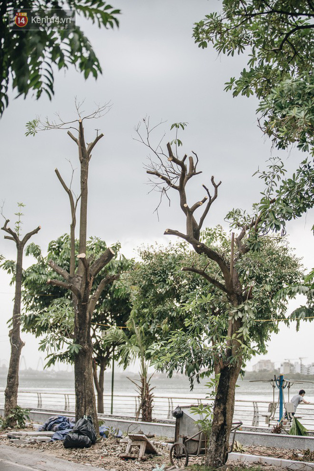 """Cận cảnh cuộc di cư của gần trăm cây hoa sữa từ hồ Tây ra bãi rác Nam Sơn để """"khử mùi"""" - Ảnh 8."""