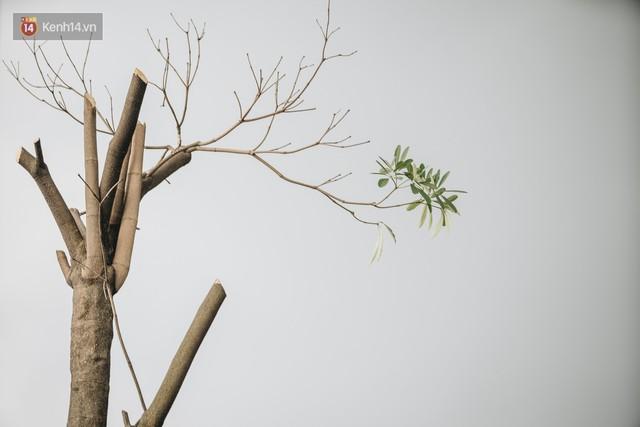 """Cận cảnh cuộc di cư của gần trăm cây hoa sữa từ hồ Tây ra bãi rác Nam Sơn để """"khử mùi"""" - Ảnh 11."""