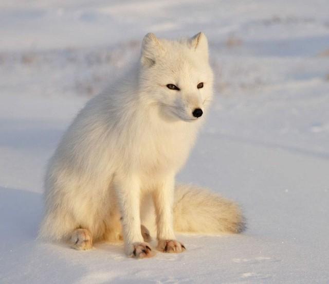 Cáo tuyết Bắc Cực lang thang hơn 4.000 cây số từ Na-Uy sang tận Canada: Lông từ trắng thành xám đen, tưởng hư cấu mà có thật 100% - Ảnh 2.