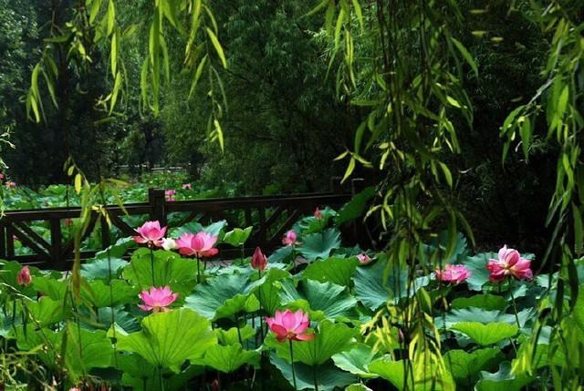 Hiếm có: Hoa sen ngủ yên trăm năm trong vườn vua nhà Thanh bất ngờ nở rộ khiến dân tình ồ ạt đến săn ảnh đẹp - Ảnh 6.