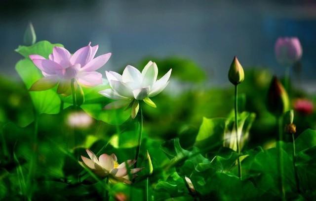 Hiếm có: Hoa sen ngủ yên trăm năm trong vườn vua nhà Thanh bất ngờ nở rộ khiến dân tình ồ ạt đến săn ảnh đẹp - Ảnh 7.