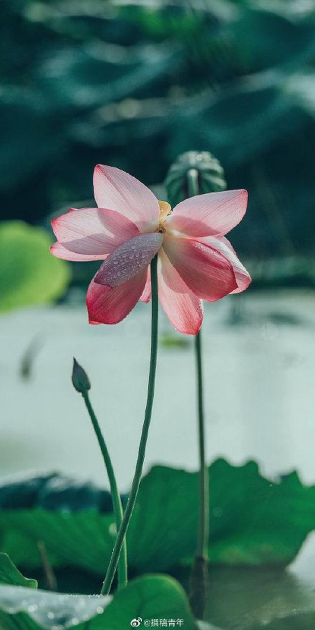 Hiếm có: Hoa sen ngủ yên trăm năm trong vườn vua nhà Thanh bất ngờ nở rộ khiến dân tình ồ ạt đến săn ảnh đẹp - Ảnh 2.