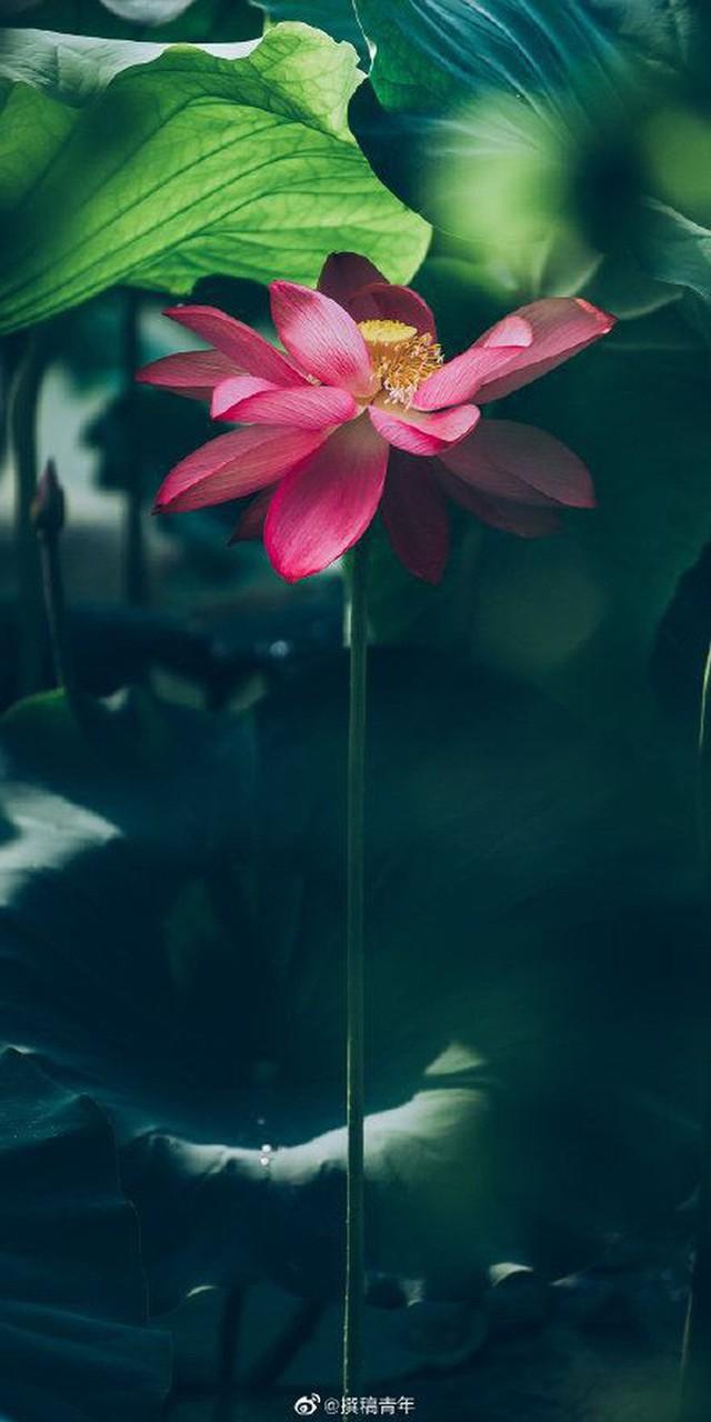 Hiếm có: Hoa sen ngủ yên trăm năm trong vườn vua nhà Thanh bất ngờ nở rộ khiến dân tình ồ ạt đến săn ảnh đẹp - Ảnh 3.