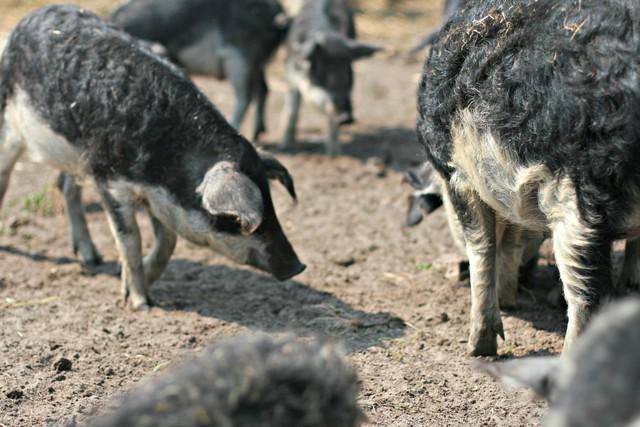 Anh hùng thầm lặng của ẩm thực Hungari: Tái sinh giống lợn Mangalica sắp tuyệt chủng trở thành báu vật quốc gia, được coi là bò Kobe của loài lợn - Ảnh 1.